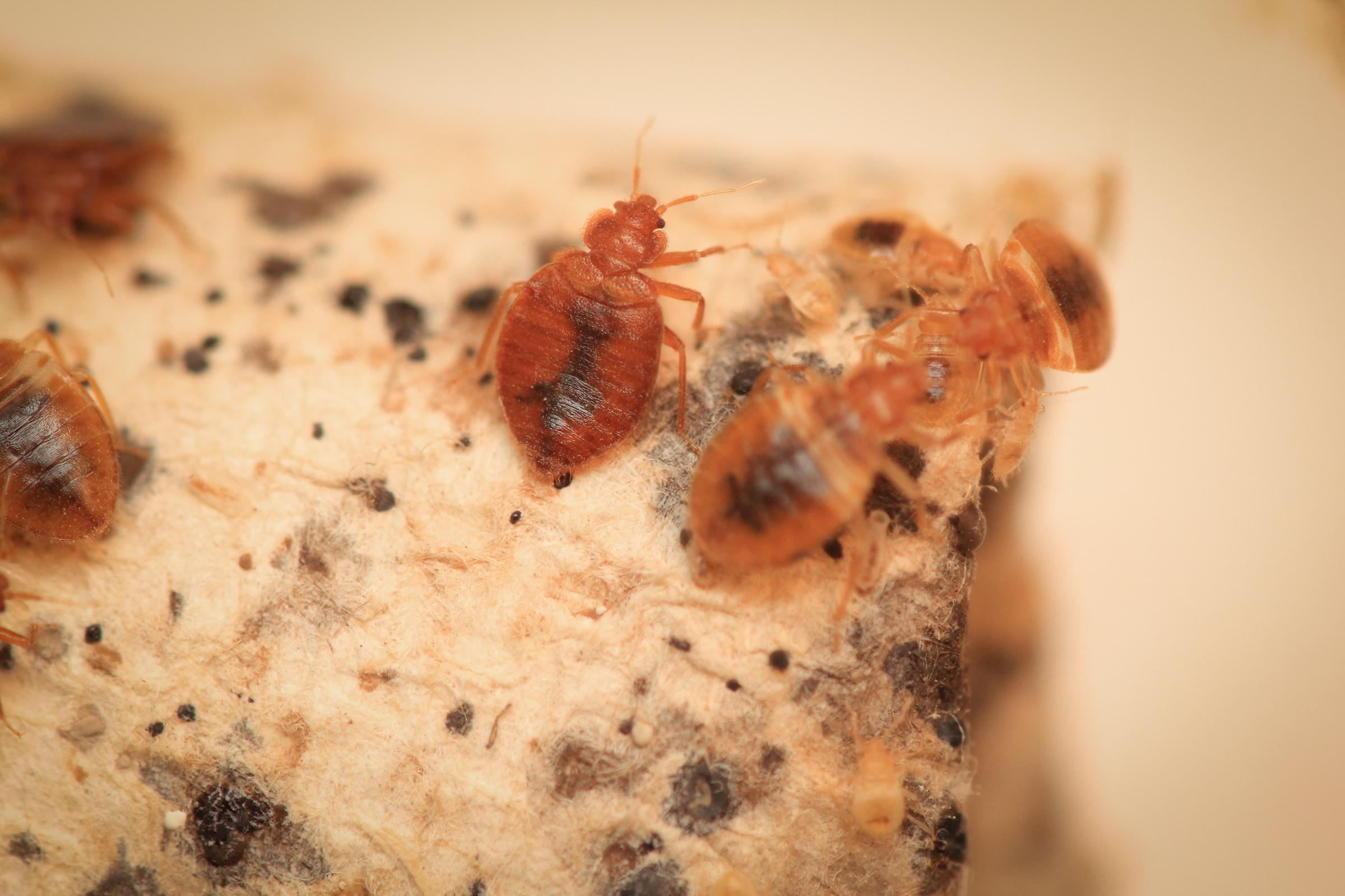 pest bugs come common get you bedbugs do hacks does where of causes bed from how